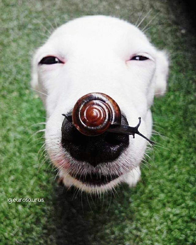 A Smiling Dog Patiently Allows a Brown Snail to Cross Slowly Over His Adorable Black Nose