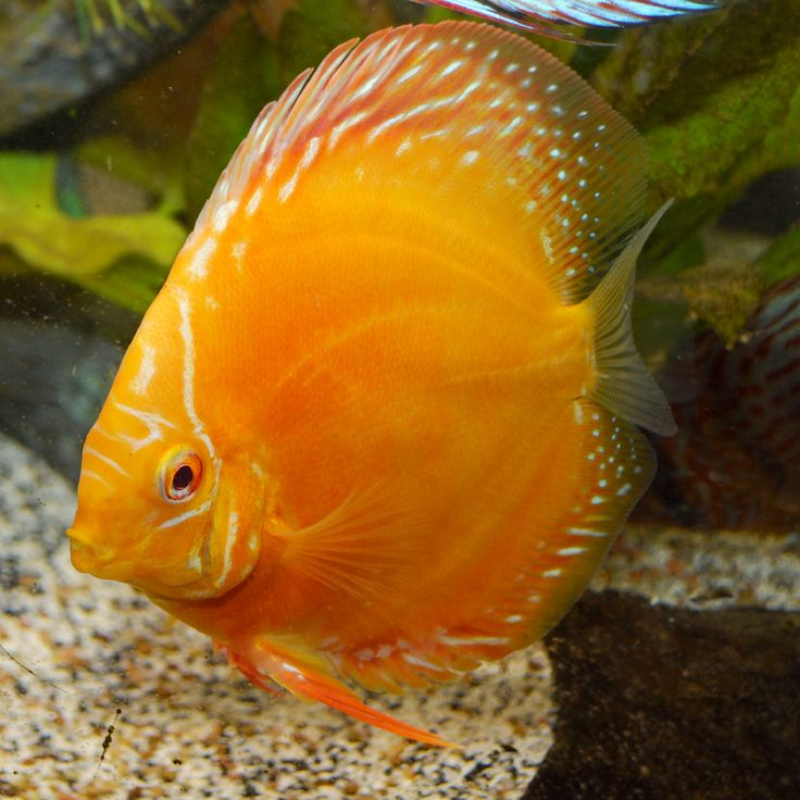 1083 best images about fresh water life 3 on pinterest for Petco koi fish