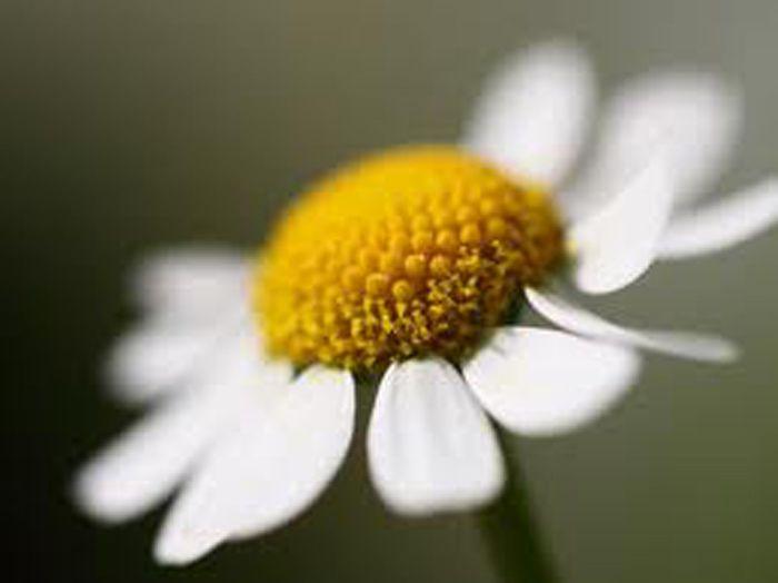 <p>Um excelente remédio caseiro para a sinusite são as inalações de vapor com camomila, de duas a três vezes por dia. Elas produzem um alívio rápido em gripes, resfriados, congestão nasal e sinusite frontal, seja ela aguda, cronica ou alérgica. Ingredientes 6 colheres de chá de flores de camomila. 1 …</p>