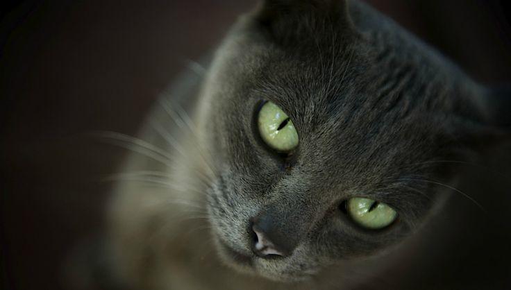 Die Korat-Katze