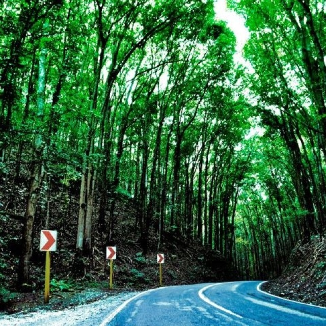 Bohol Forest - the first and the only man-made mahogany forest in the Philippines.