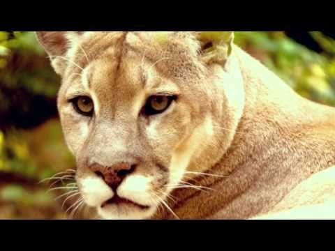 Cougars Пумы