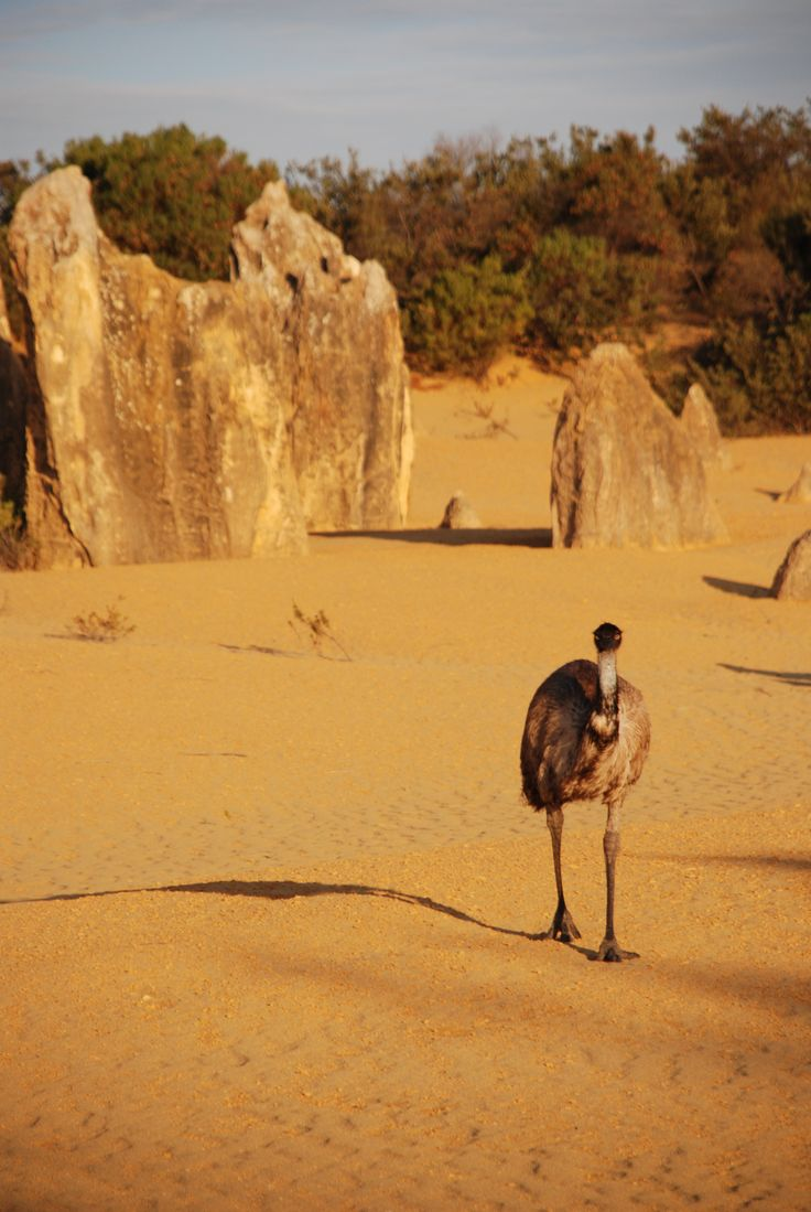 Emu in Pinnacles Desert Nambung National Park Western Australia