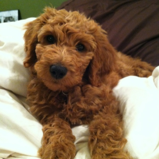 Miniature Golden Doodle!!! How precious is he?!?!