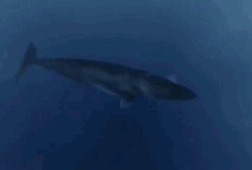 25. Гигантская акула (Мегалодон, C. megalodon)