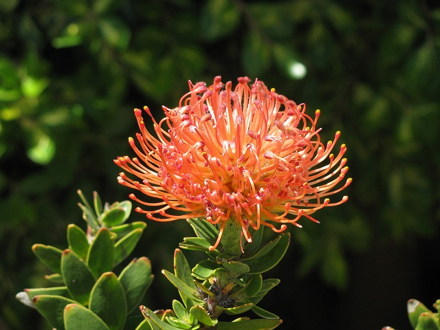 Fynbos in Cape Town, South Africa. For a fabulous holiday to Cape Town check out our website at www.africantours.travel.