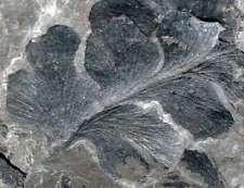 Sphenopteris striata - Very well preserved fossil plant