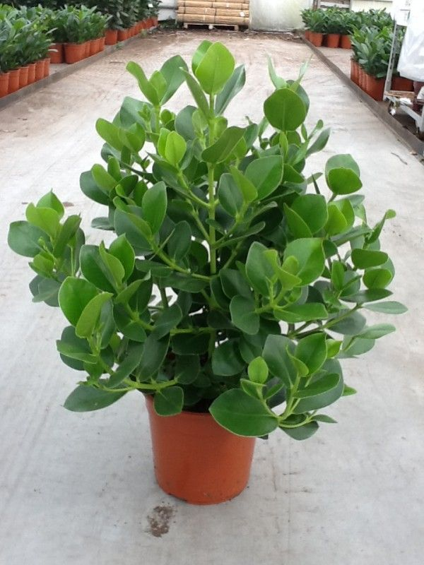 Clusia Rosea Autograph Tree What A Neat Idea For A