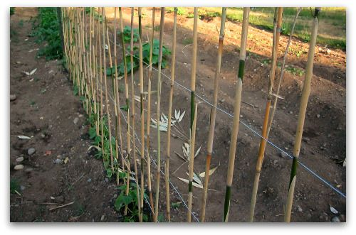 pole bean trellis closeup Whats at Stake: Pole Beans Need Your Support