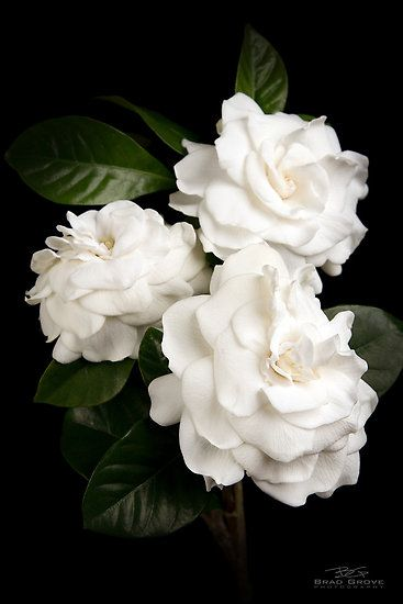 Gardenias. One of my favorite smells here in the south when the sun sets and the breeze is soft.