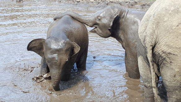 Ik bracht een bezoek aan een opvangkamp voor olifanten en heb een leuk gesprek gehad met de Nederlandse Agnes die daar al 6 jaar woont en werkt. #Olifanten #Thailand #ElephantsWorld