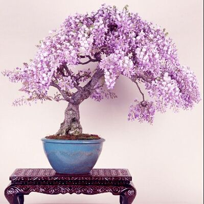 Free shipping  lilac mini bonsai wisteria tree seeds Indoor ornamental plants - 10 particles