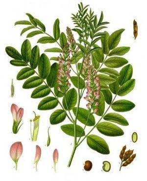 licorice root (glycyrrhiza glabra), женско биле