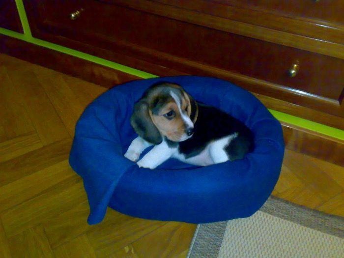 Preciosa y cariñosa Kira madrileña. Una familia de Madrid nos envió fotos de una beagle hembra llamada Kira. ¿Sabías que ésta es la 4ª perrita que conocemos con ese nombre? Respondemos en este post a cuestiones relacionadas con los paseos (esos en los que es el perro el que tira de nosotros), y sobre el problema para encontrar  hoteles que admitan perros.  #AdiestramientoCanino, #FotosdePerrosbeagle