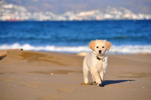 awwww: Beaches, Puppies, Dogs, Adorable Animals, Puppys, Beach Puppy, Things, Furry Friends