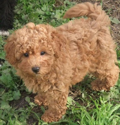 maltese poodles are the cutest!