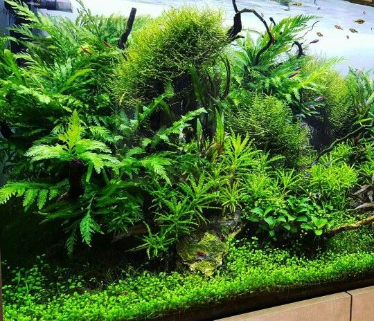 Aquascape Plants For Sale: 1000+ Images About Fish (freshwater) And Aquarium On