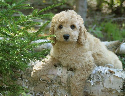 Look at those eyes! Labradoodles are one of my fave breeds!