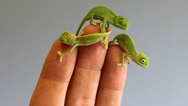 Teeny-weeny #chameleon hatchlings steal hearts at Australia's Taronga Zoo.