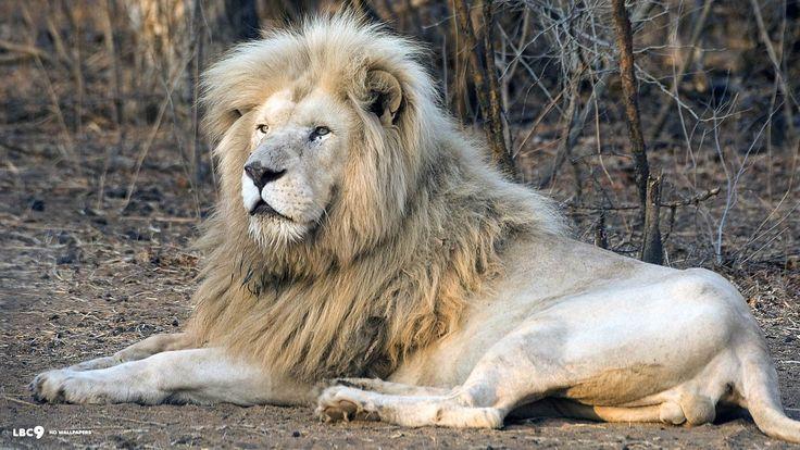 White Lion Roar Wallpaper 1920x1080 Images