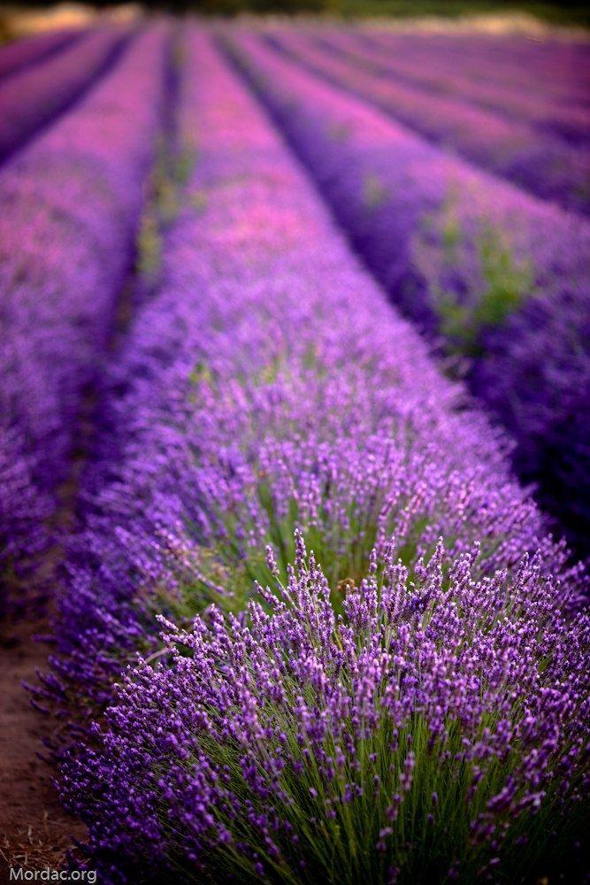 Поля во франции с фиолетовыми цветами
