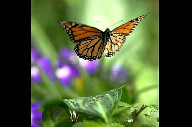 A Monarch takes flight. Monarch offspring fly north in late March, but they never make it back to their ancestral homes. They breed en route and then die, leaving the rest of the journey to a new generation. Photo: Courtesy Of SK Films / SF