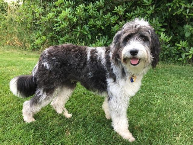 Grooming Oregon Bordoodles Hybrid Dogs Dog Crossbreeds Bordoodle