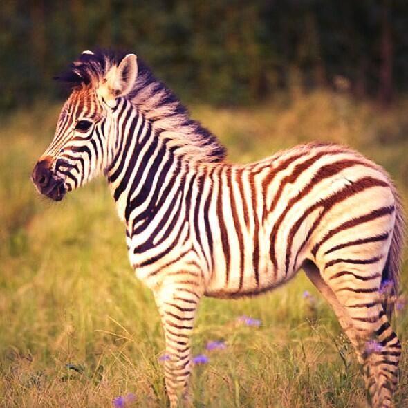 Best images about zebras on pinterest watercolors