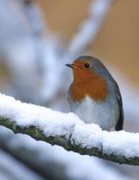 De meeste vogels houden niet van ijstijden. In de winter wachten ze vol ongeduld op de opwarming van de aarde.   (Geert De Kockere)