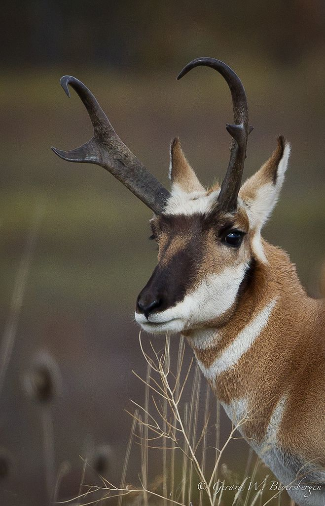 Pronghorn Antelope- not a true antelope per scientists-has the largest lungs of any prey species. native to the southwest USA