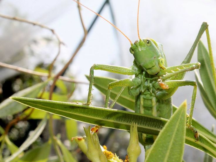grasshopper, mantis, macro, green, animals, insects