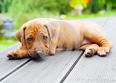An african Rhodesian Ridgeback puppy is lying outside on a wooden patio. The little puppy is looking cute straight into the camera. The little whelp is four weeks of age.