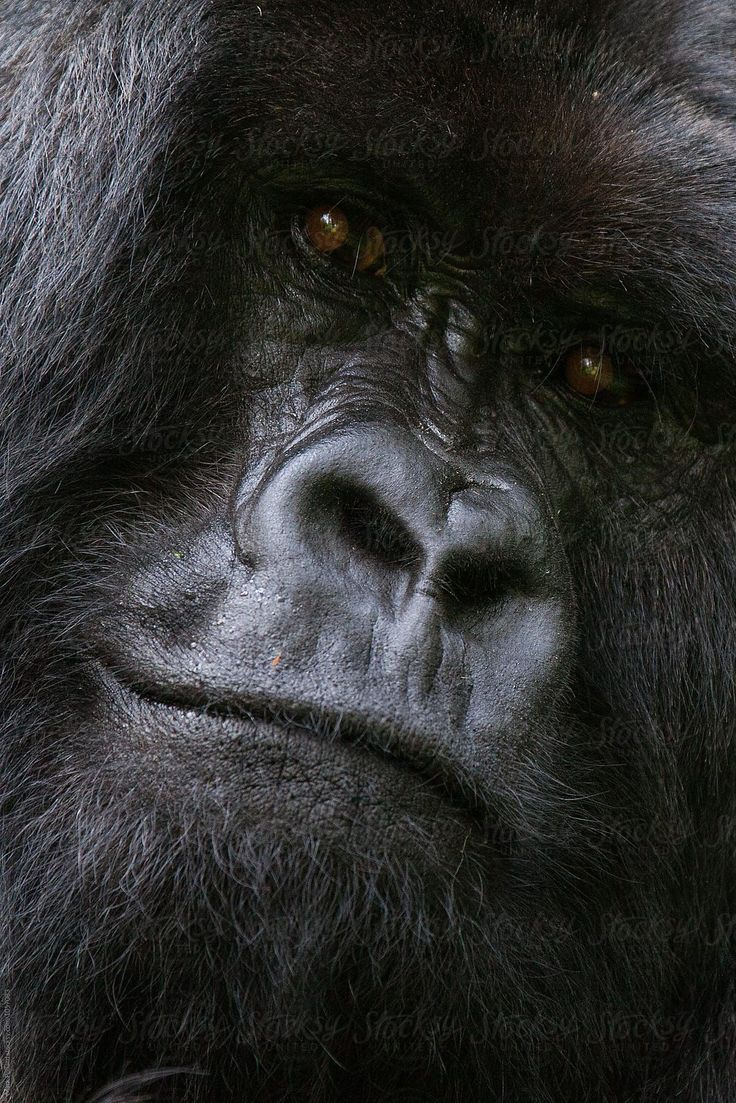 Mountain Gorilla Staring into Camera by Mark Pollard – Stocksy United #environme…