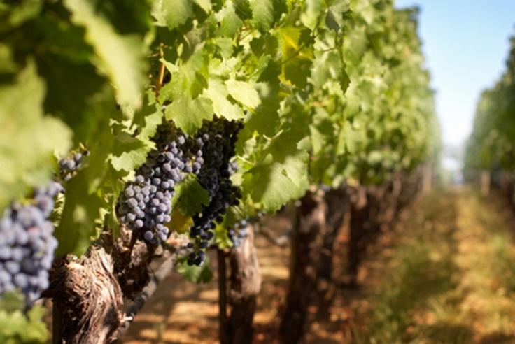 """Com certeza você já deve ter escutado ou lido a expressão """"esse vinho é  tânico"""", e pode ter ficado sem entender nada. Se você está começando agora a se aprofundar no mundo de vinhos, se prepare: ainda vai ouvir muito essa expressão...  http://www.sonoma.com.br/seja-um-craque-itens/item/170-tanino?utm_source=pint_taninos_campaign=pint_tanino"""