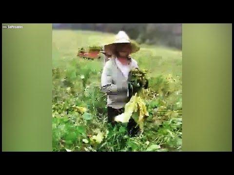 ENGRAÇADO - Pensa num homem bravo, caindo na plantação suja!