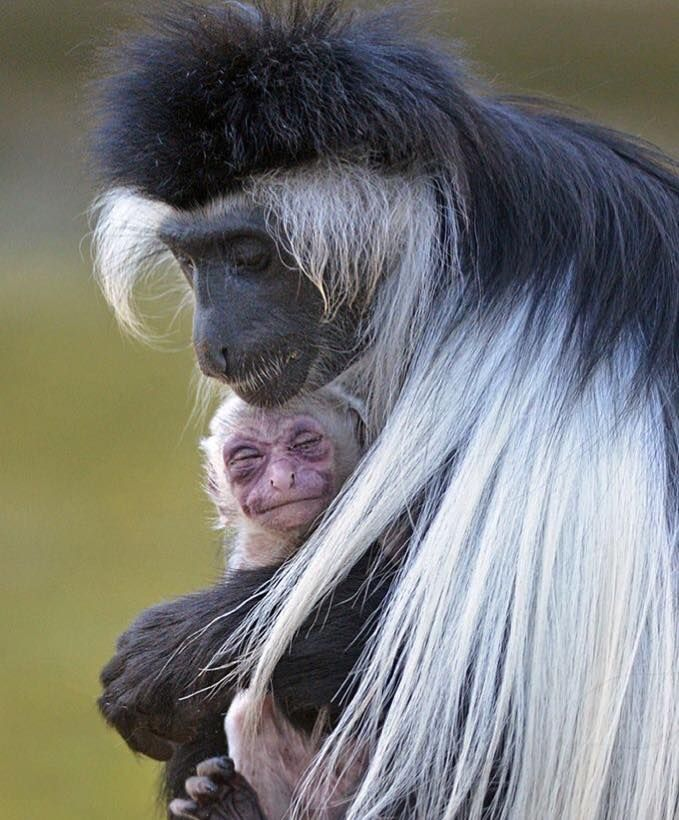 ... holds her newborn offspring. Colobus monkeys share the responsibility of caring for the young with other females in the group. This benefits the mother, ...