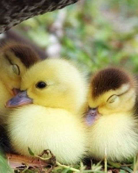 Ducklings Cuddling Into One Another Along A Riverbank.
