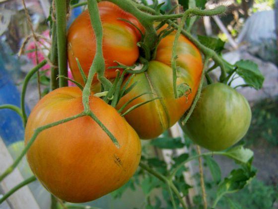 Садовое обозрение - Фитофтора: лучше предупредить, чем лечить