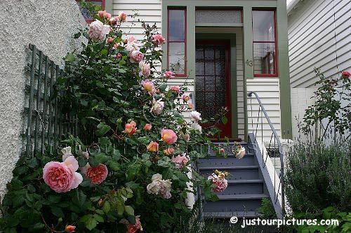 Abraham Darby rose bush