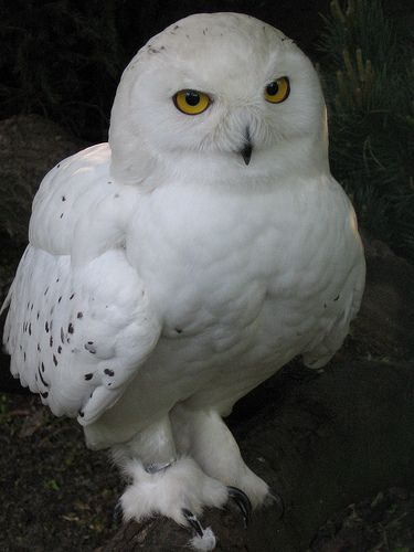 Snowy owl in the Zoo Hannover