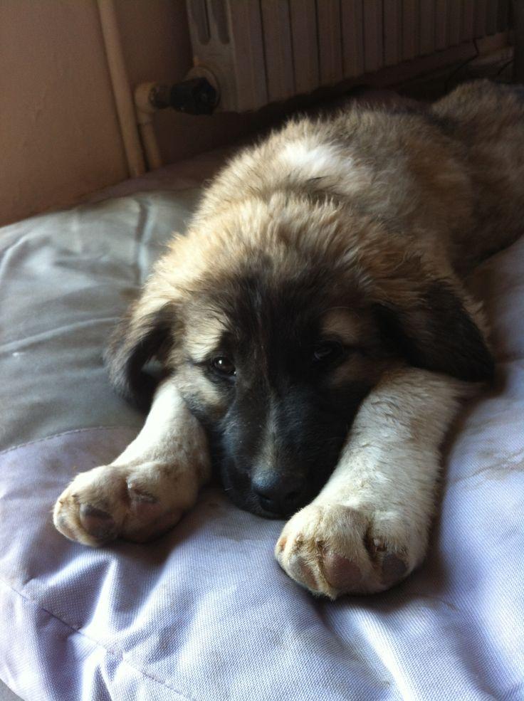 Anatolian Shepherd Dog - Kangal. My Cesur...