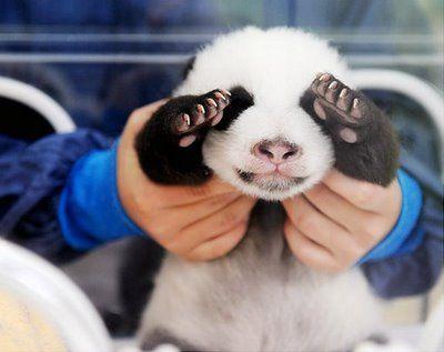 Tierna fotografia osito panda bebe  [29-12-16]