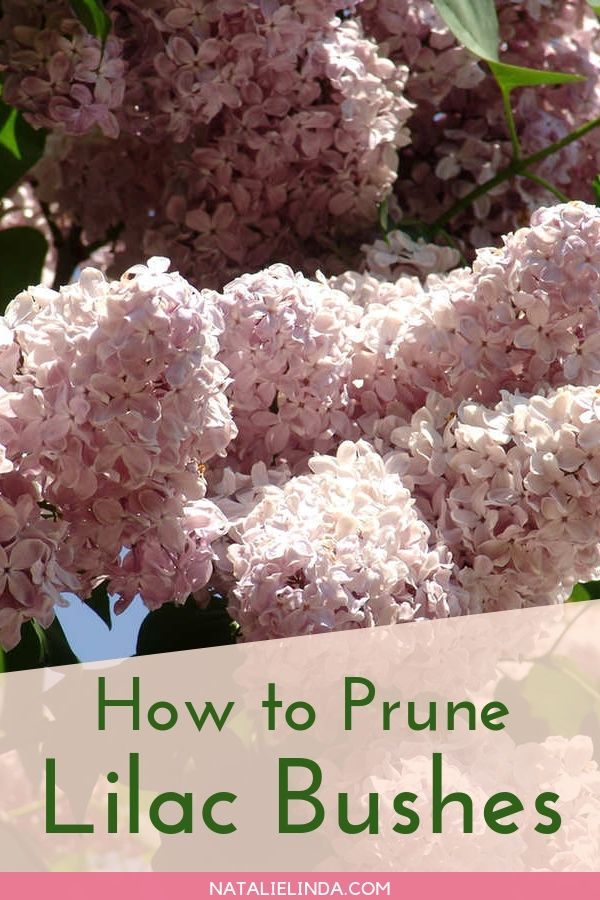 Learn To Prune Lilacs The Right Way For Optimum Blooms Next Spring Natalie Linda Lilac Bushes Prune Lilac Bush Perennial Shrubs