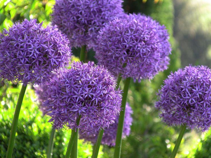 Allium 'Globemaster' - Google zoeken