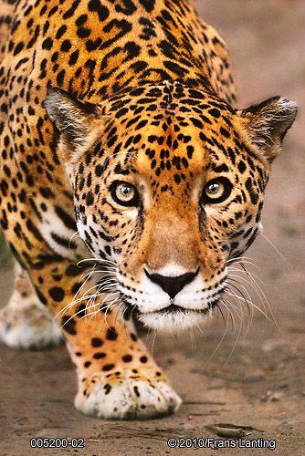 """Onça Pintada (Panthera onca) : O maior felino das américas e o terceiro maior do mundo é um habitante das florestas sul americanas, também chamado de """"Jaguar"""" que significa """"aquele que mata com um pulo"""" devido a forma de caça deste hábil predador. Capivaras, antas e até outros predadores como os jacarés e sucuris, fazem parte da dieta desse grande predador."""