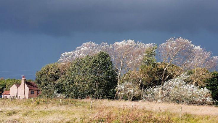 """""""Sunlit Silver Birch"""" mucking. thurrock. essex. oct 2014"""
