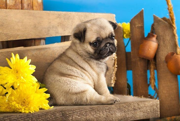 """""""I can't help it if I'm adorable""""...  Click on this image to find more cute pictures of #Pug #puppies"""