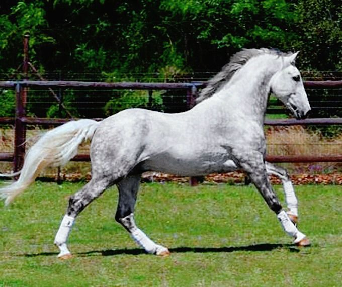 Registered Irish Draught stallion, Rosenburg.