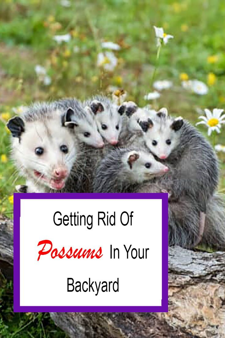 How to get rid of possums in your backyard for good 2020
