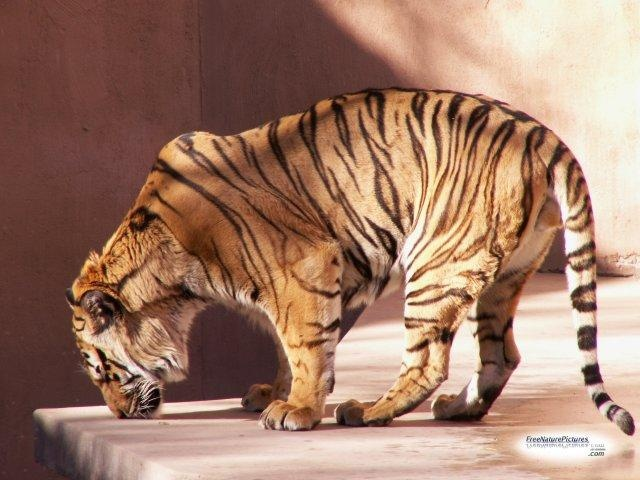 Each tiger's stripes are its fingerprint different from every other.